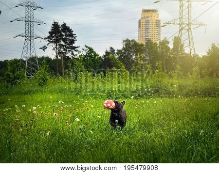 The dog brings the ball. Field green grass. Background high-voltage power lines. Summer heat