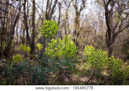 View of spurge plants in Santa Croce countryside Trieste