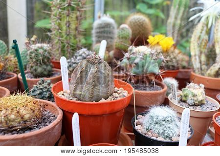 Euphorbia Obesa in pot in greenhouse with other succulents