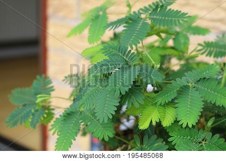 A sensitivie plant or mimosa pudica houseplant