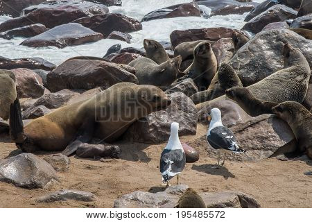 Mother sea wolf defending her baby Namibia