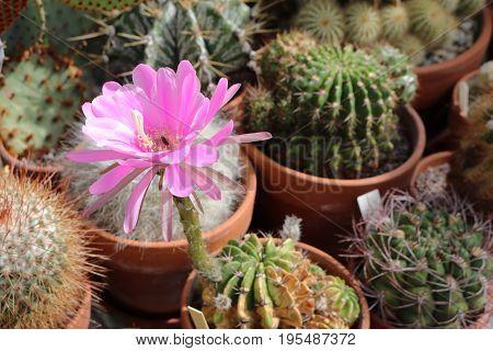 A pseudolobivia obrepanda purpurea cactus in flower