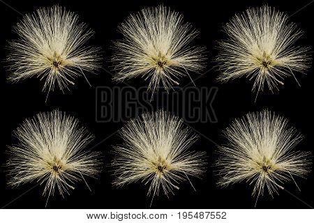 Collection of Yellow Powder Puff or Calliandra haematocephala Hassk isolated on black background