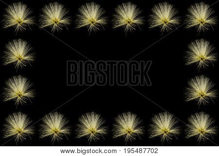 Collection of  Yellow Powder Puff or Calliandra haematocephala Hassk decorated as a frame
