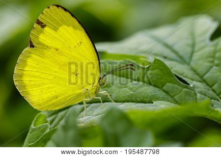Image of Anderson's Grass Yellow Butterflies (Eurema andersonii andersonii) on green leaves. Insect Animal