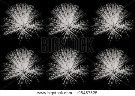 Collection of Powder Puff or Calliandra haematocephala Hassk in black and white colour