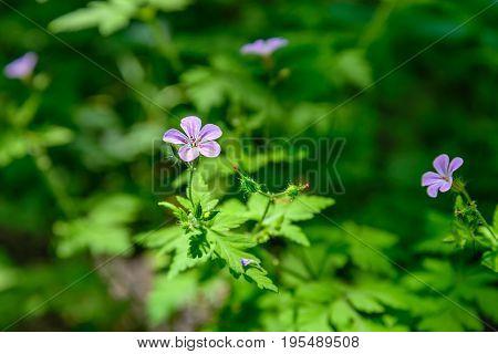 Geranium robertianum against the background of green leaves