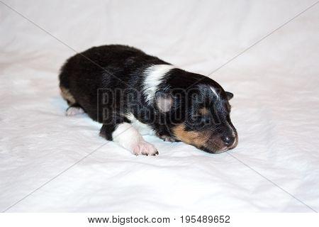 Black beautiful fresh sheltie puppy dog, lying on white background