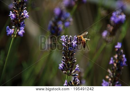 Close-up of bee on top of lavender flower in a garden at the village of Châteauneuf-du-Pape, in a sunny day. Located in the Vaucluse department, Provence-Alpes-Côte d'Azur region, southeastern France