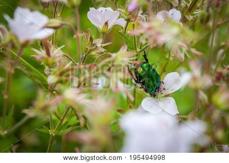 Cetonia aurata or Green Chafer beetle on a flowers flower field