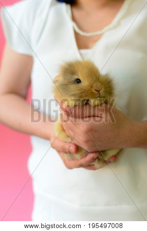 brown rabbit sleep on hand of woman who wear white shirt on pink background