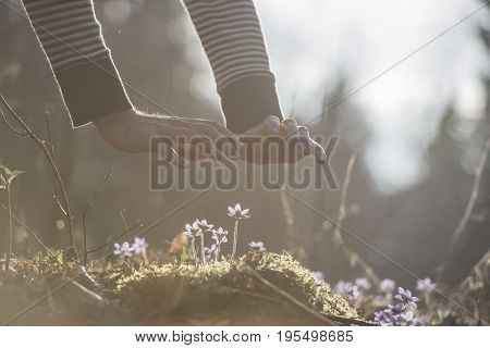 Conceptual image of male hands back lit by bright sunlight making a protective gesture over a small spring flowers.