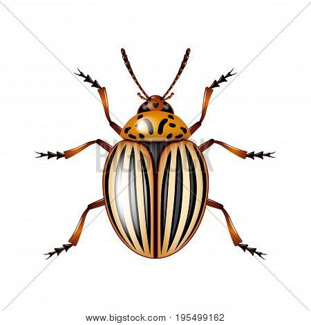 Colorado beetle isolated on white photo-realistic vector illustration