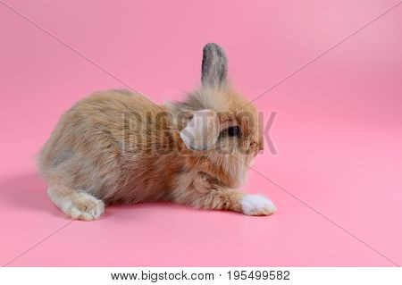 fluffy brown bunny sit on clean pink background little rabbit