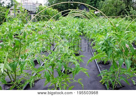 Seedling Tomato, Grown In A Large Box On A Spunbond Nonwoven Cover. Mulching. Grow Boxes .