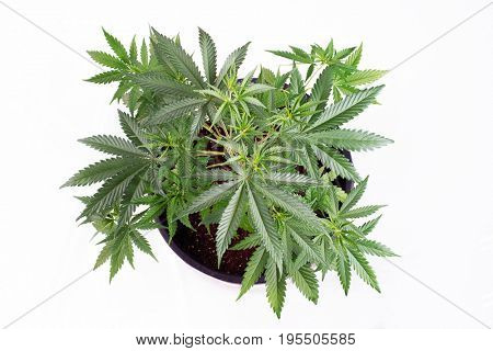Small cannabis pottet plant (dark angel strain) at around 4 weeks isolated over white - medical marijuana growing concept