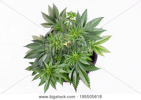 Small cannabis pottet plant (sour diesel strain) at around 4 weeks isolated over white - medical marijuana growing concept