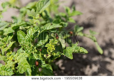 Feeding Larvae Of The Colorado Potato Beetle On Potato Leaf