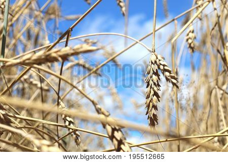 Wheat field in summer before harvesting close-up
