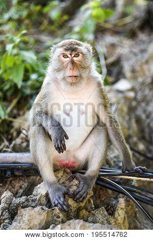 Portrait of sitting monkey in Thailand Krabi.