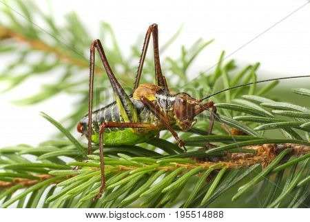 Tailed bush cricket - Barbitistes constrictus - macro photo