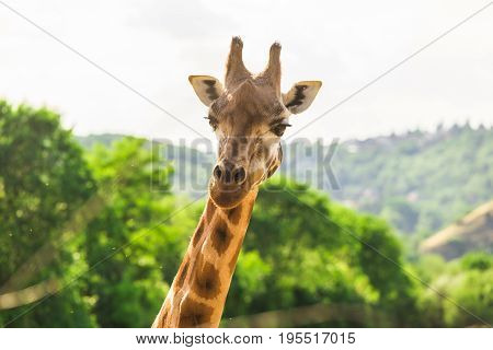 Close-up of a giraffe in front of some green trees. With space for text