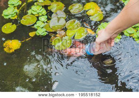 Feeding fishes from baby bottles. Koi carps.