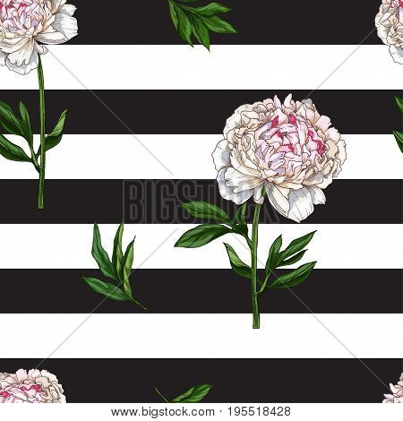 Seamless pattern with gently pink peony flower isolated on black and white striped background. Vector