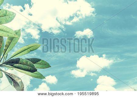 Frangipani, tropical tree plant in garden, temple tree, lantom or leelawadee tree, plumeria. Tropical Bali island.