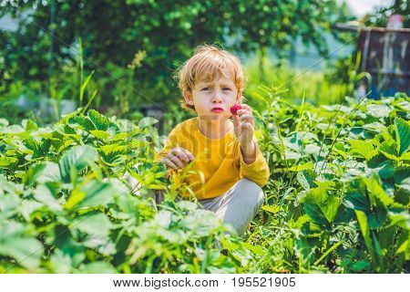 Happy Caucasian Little Boy Picking And Eating Strawberries On Berry Farm In Summer