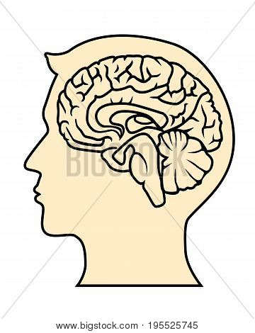 Vector sagittal cut of human brain without background