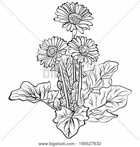 Elegant decorative gerbera flowers design element. Floral branch. Flowers gerbera sketch