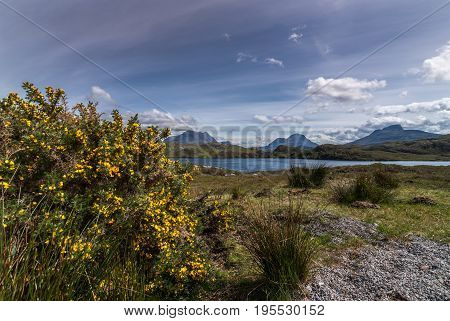 Assynt Peninsula Scotland - June 7 2012: Yellow flowering broom with mountains behind Loch Buine Moire under flowing sky with white clouds. Green vegetation.