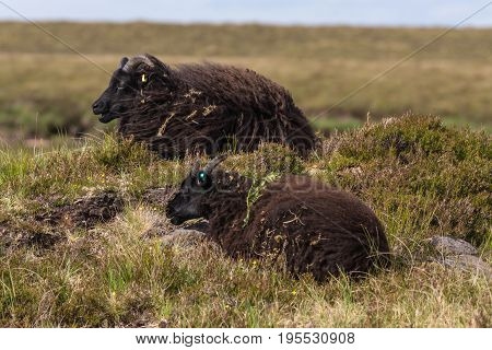 Assynt Peninsula Scotland - June 7 2012: Closeup of two black Welsh Mountain sheep which lie in the dry vegetation on the heighs of Brae of Achnahaird.