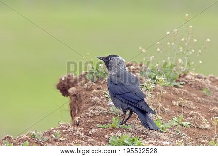 A Young Crow Sitting On The Hill