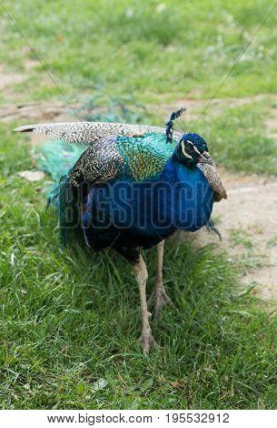 Beautiful Big Peacock In A Milwaukee Zoo
