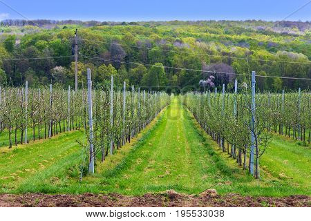 Apple orchard with young saplings in the spring