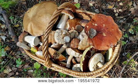 Close up of full basket with edible mushrooms
