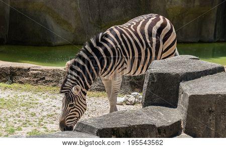 Big Zebra Eating In A Milwaukee Zoo