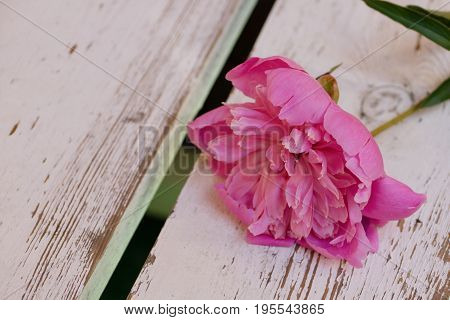 One pink flower lies on white wooden boards. Nature. Loneliness. A Failed Date.