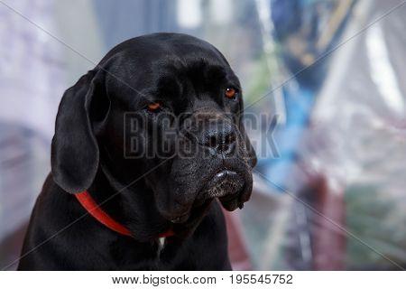 dog breed italiano cane corso on a grey background