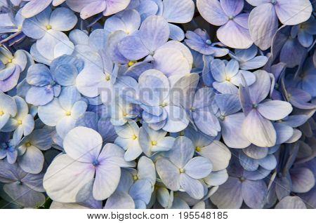 Lightly lilac flower Hortense brightly lit fresh.