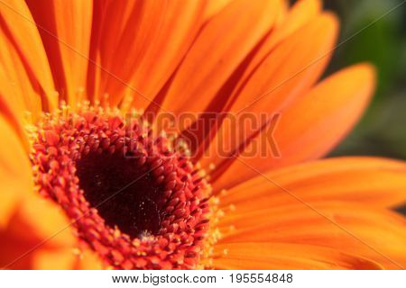 Orange Gerber flower in the bucket flowers