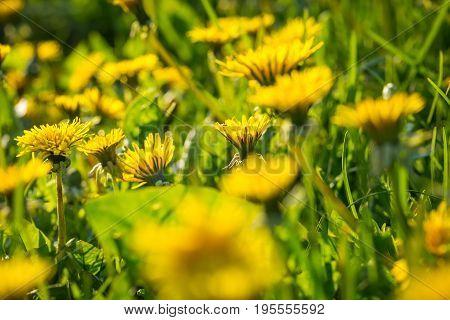 Beautiful Yellow Dandelions Blooming In Springtime