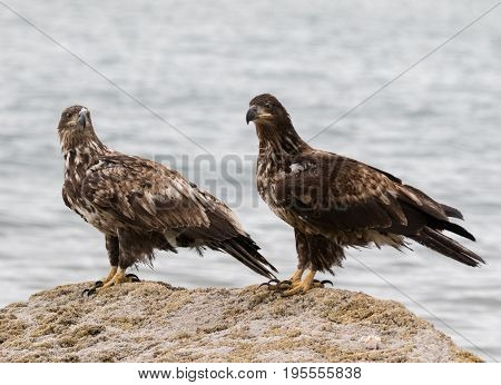 Two immature bald eagles sitting on a rock at the beach