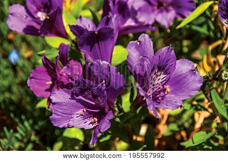 Detail of purple garden flower in the village of Châteauneuf-du-Pape. Located in the Vaucluse department, Provence-Alpes-Côte d'Azur region in southeastern France