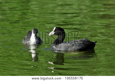 Eurasian coot, bird - a small waterfowl. Rail bird. Adult wild bird and chicks (ducklings).