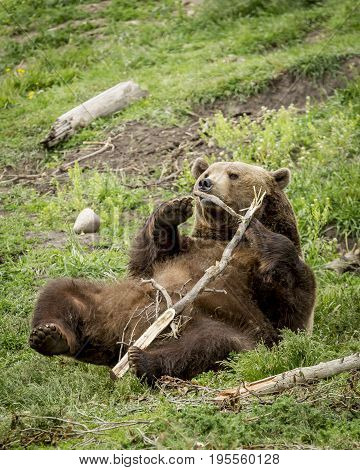 Playful grizzly with stick. A captive grizzly bear is being playful with a stick near Bozeman Montana.