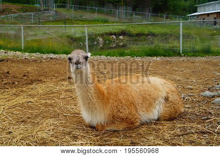 Guanaco lies on the sand in the Karelian zoogreen park Russia
