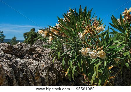 Close-up of stone walled fence and flowers under sunny blue sky, in the Village of Bories, near the town of Gordes. Vaucluse department, Provence region, in southeastern France